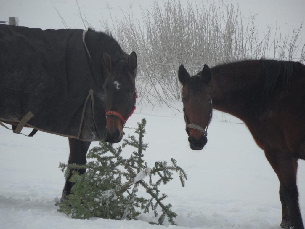 hvor mange vanrøgte heste er der fundet